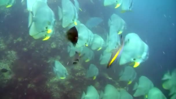 Tropical exotic fish on blue background of sea bottom in ocean on Galapagos. Amazing life of underwater nature world. Scuba diving.