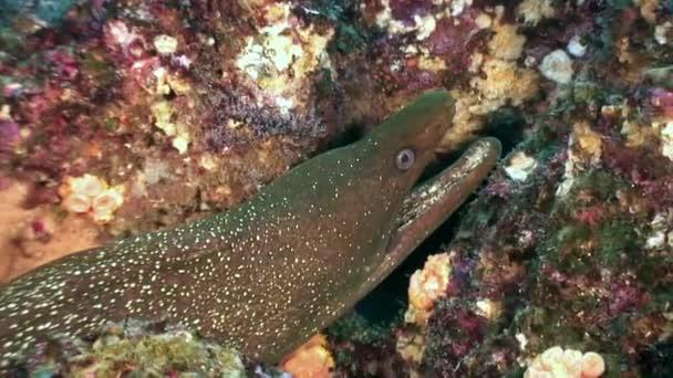 Moray eel underwater in ocean on Galapagos.