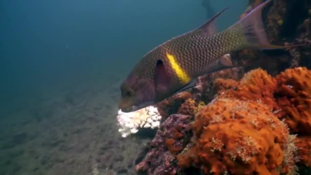 Parrot fish undwater in ocean on Galapagos.