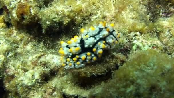 Sea slug nudibranch on seabed underwater lagoon of ocean on Galapagos.