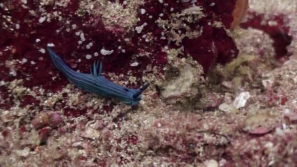 Blue striped sea slug nudibranch on seabed underwater of ocean on Galapagos. Amazing life of tropical nature world in blue water. Scuba diving.