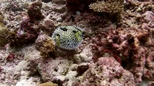 Porcupinefishe Igelfische fish urchin underwater on amazing seabed in Maldives.
