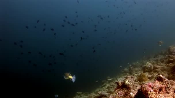 Pufferfishe Kugelfische Tetrodons fish underwater on amazing seabed in Maldives.