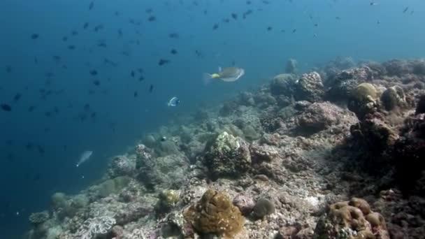 Pufferfishe Kugelfische Tetrodons fish underwater on amazing seabed in Maldives.