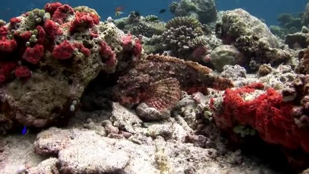 Fish Stone underwater on background of amazing seabed coral reef in Maldives.