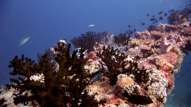 Scuba divers underwater on background of school fish in Maldives.