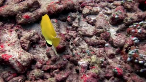 Striped bright yellow lucian fish underwater on background of seabed Maldives.