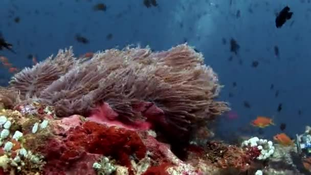 Anemone actinia and bright orange clown fish on seabed underwater of Maldives. Unique video footage. Abyssal relax diving. Natural aquarium of sea and ocean. Beautiful animals. Amazing background.