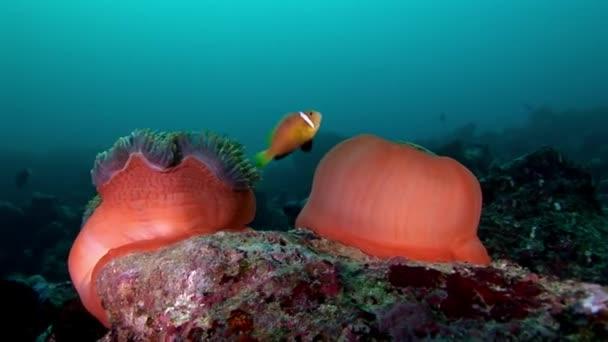 Anemone actinia und leuchtend orangefarbene Clownfische auf dem Meeresboden der Malediven.