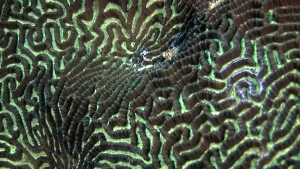 Hard round coral brain in form of ball underwater amazing seabed in Maldives.