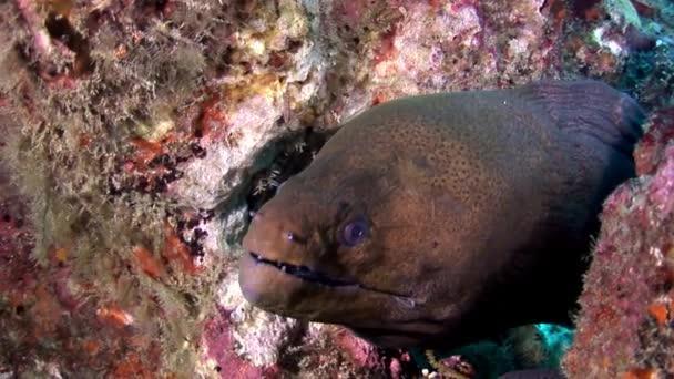 Moray eel dangerous underwater on seabed in Maldives.