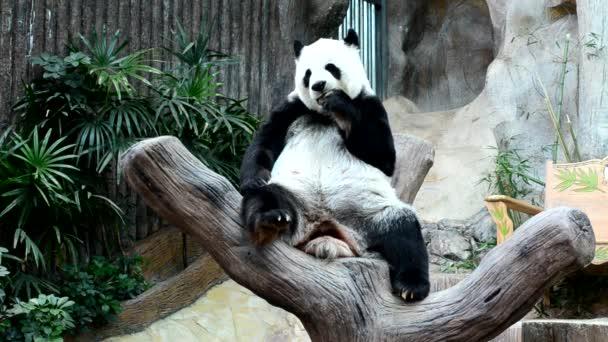 giant Panda eating bamboo enjoy eating