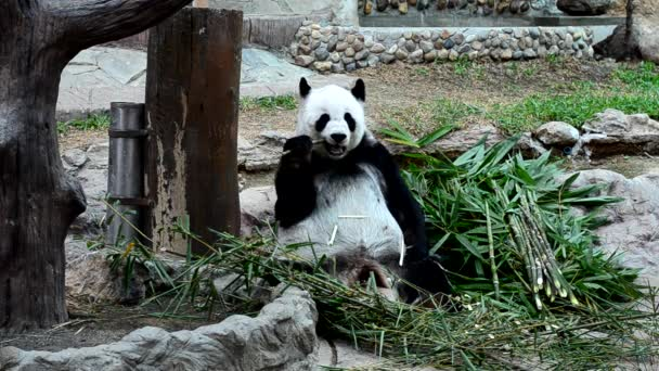 giant Panda eating bamboo enjoy eating