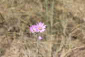 Crimean steppe flower Immortelle purple. The dried flower is annual. It grows throughout the Crimea in the steppes, on dry slopes, near roads. It blooms all summer.