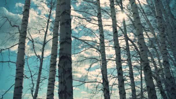 Bílé břízy v lese na jaře. Březový les v ranním světle se slunečním světlem. Světlé březovými větvemi na pozadí jasně modré oblohy