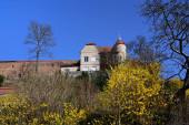 Alte historische Stadtmauer von Friedberg in Bayern im Frühling mit blauem Himmel und einem Strauch mit gelben Forsyhtien, die blühen