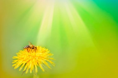 A bee on yellow daisy flower,