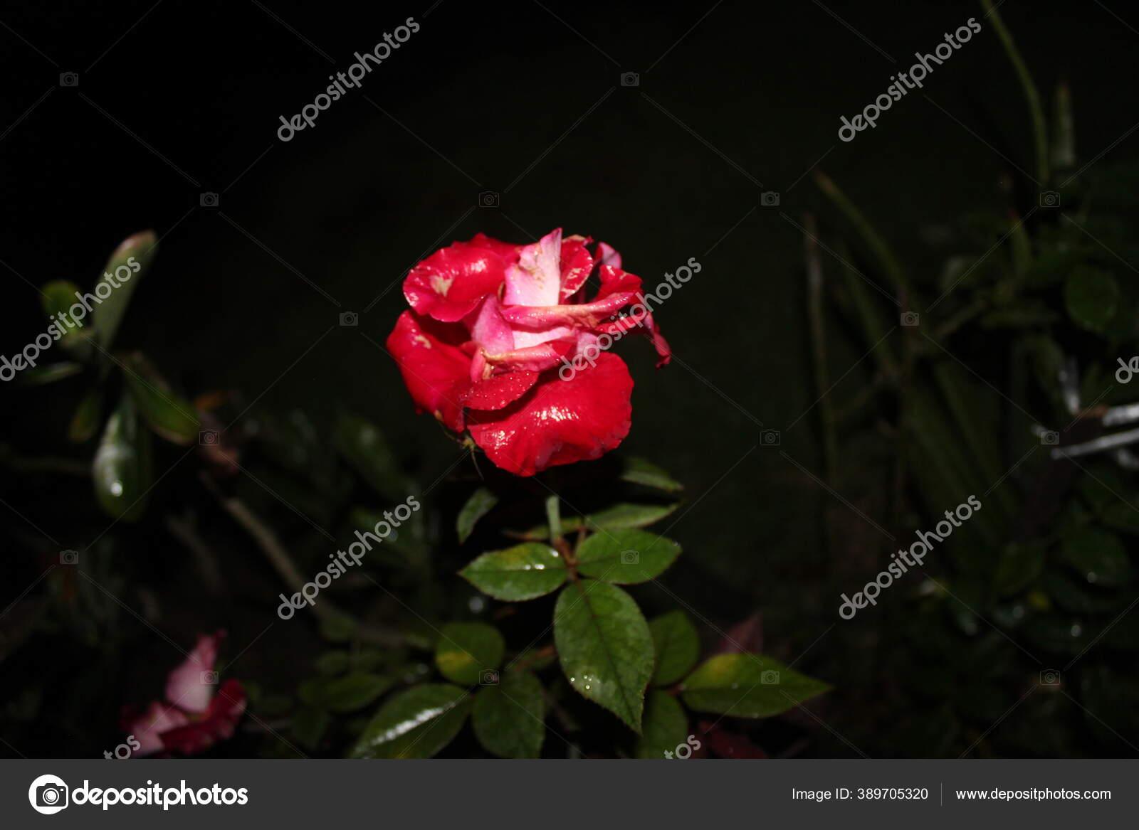 Mawar Merah Malam Hari Dan Hujan Turun Warna Yang Indah Stok Foto C Ayska17 389705320