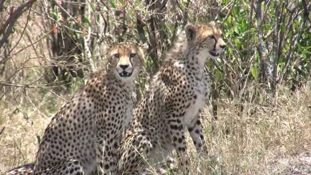 Gepard, Masai Mara, Keňa