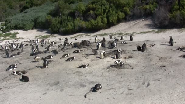 African Penguin, Boulders Beach, Cape Town, South Africa