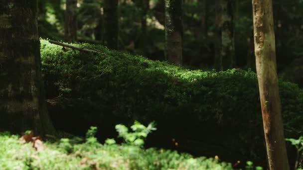Moss Forest, Észak-Jatsugatake, Japán