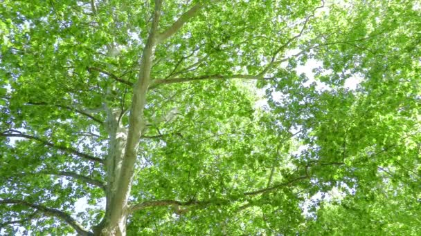 view of Plane Tree (Platanus)