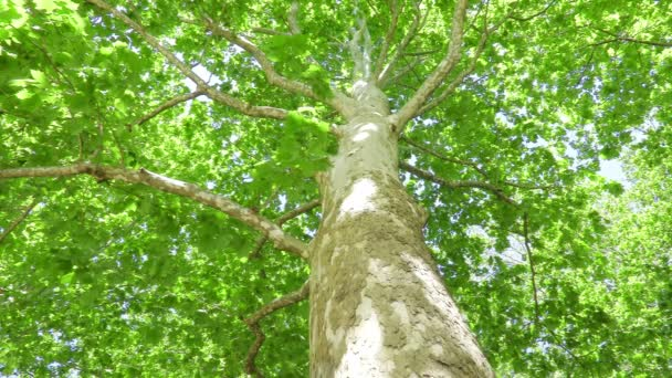 view of Plane Tree (Platanus)