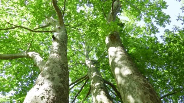 kilátás síkfa (Platánusz)
