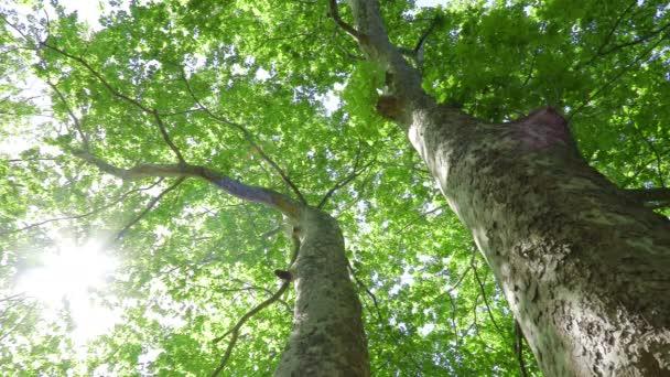 pohled na rovinný strom (Platanus)