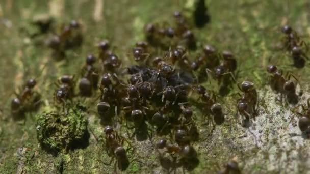 Ameisenschwarm (Lasius japonicus))