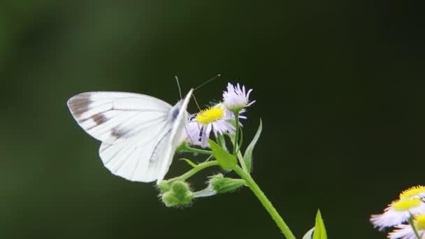 Zöld erezetű fehér pillangó (Pieris melete)