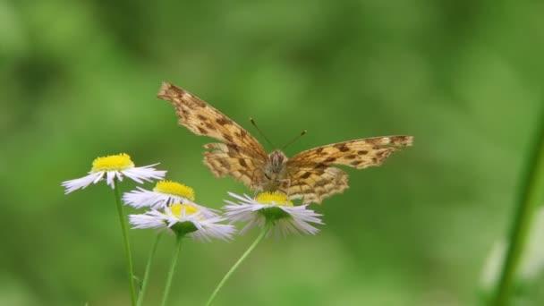 Ázsiai comma pillangó (Polygonia c-aureum))