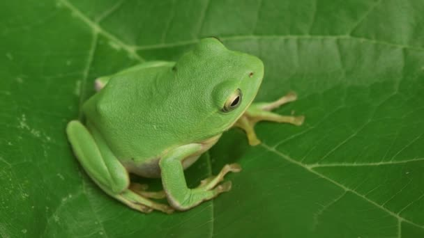 Schlegels grüner Laubfrosch (Rhacophorus schlegelii))
