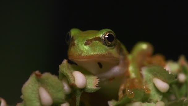 Japonská stromová žába (Hyla japonica)