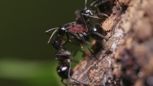 Swarm of Ants (Polyrhachis lamellidens)