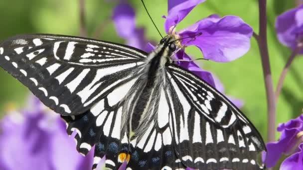 Ázsiai fecskefarkú pillangó (Papilio xuthus) Táplálkozás Virág Nektár