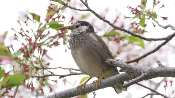 White-cheeked Starling, Cherry Blossoms