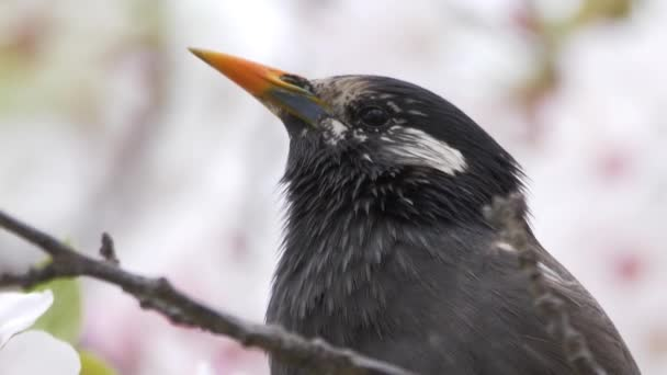 Starlingová s bílými tvářemi, třešňové květy