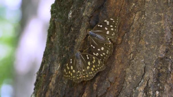Nagy lila császár pillangó (Sasakia charonda, nő)