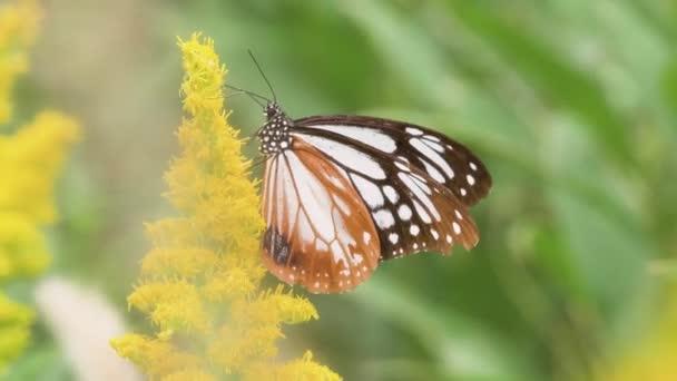 Chestnut Tiger Butterfly (Parantica sita)
