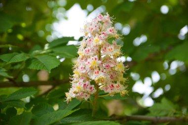 Chestnut flowers in spring. Aesculus hippocastanum.