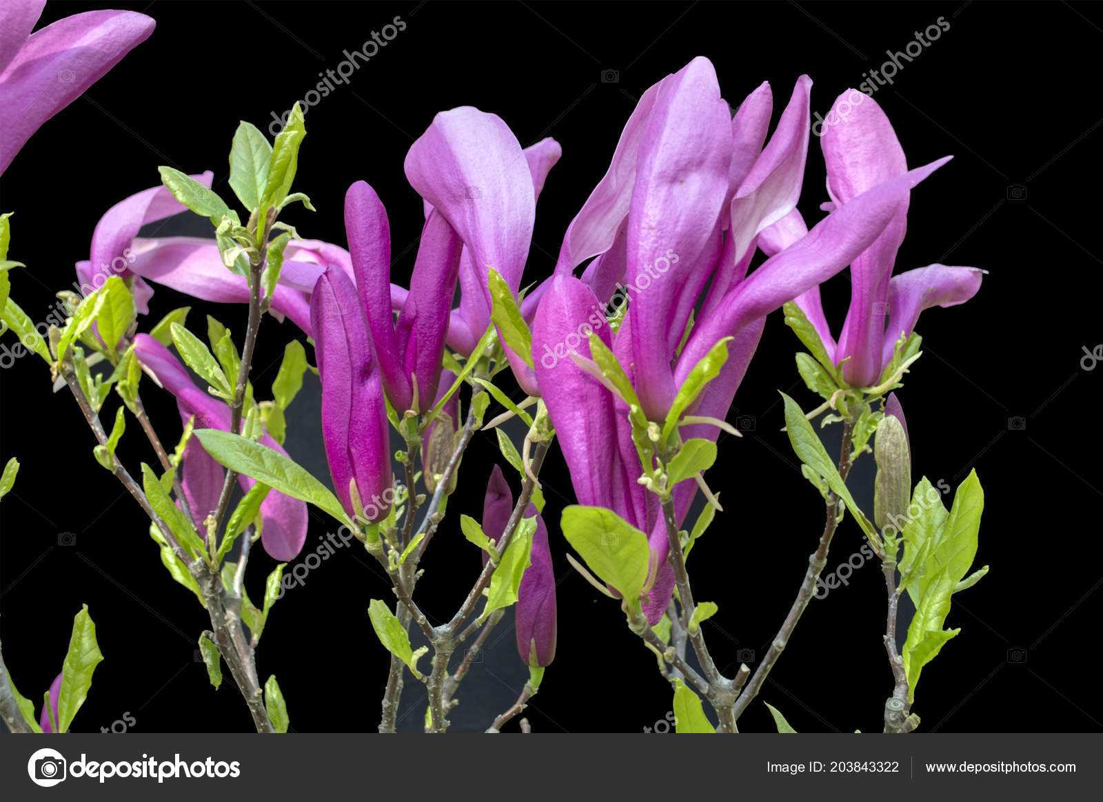 Magnolia Flowers On Black Background Colorful Blooming Spring
