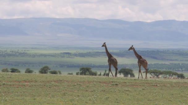 large giraffes in Serengeti national park Tanzania