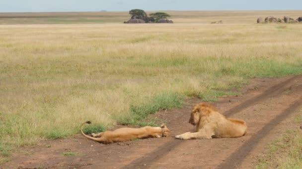 festői felvétel gyönyörű oroszlánok párzás az úton Savannah