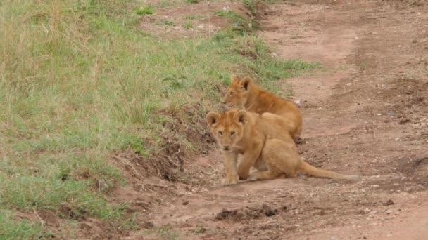 festői felvétel gyönyörű oroszlánok családi rutin Savannah