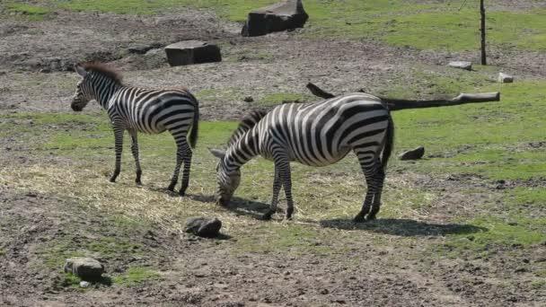 festői felvétel gyönyörű zebrákról legeltetés a réten az állatkertben