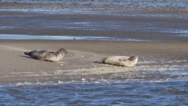 Seals relaxing on sandbank in Wadden sea near island Fano in Denmark