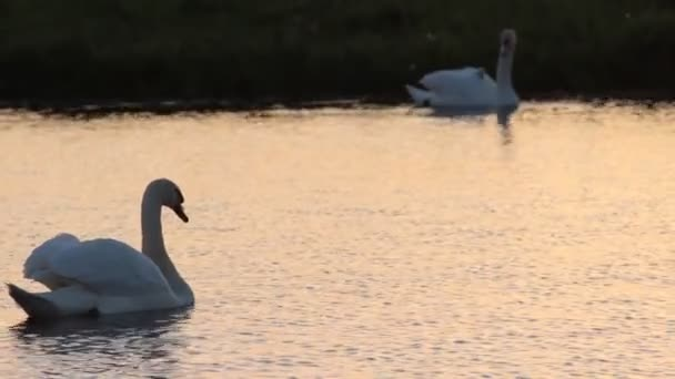 2 Schwäne und ihre kleinen Babys in einem See bei Sonnenuntergang