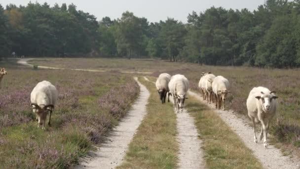 Stádo ovcí kráčející na kvetoucí louce v Nizozemsku