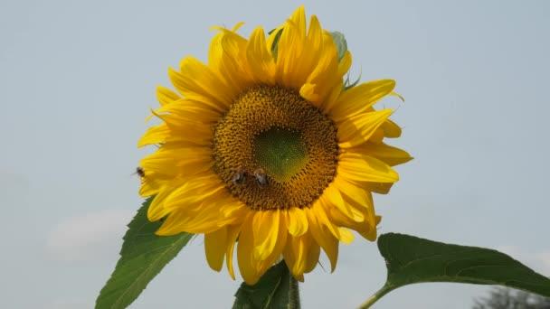 zblízka záběry krásné kvetoucí slunečnice na slunečný den